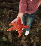 An Hispanic girl is holding a bright orange starfish in her hand up to the camera.